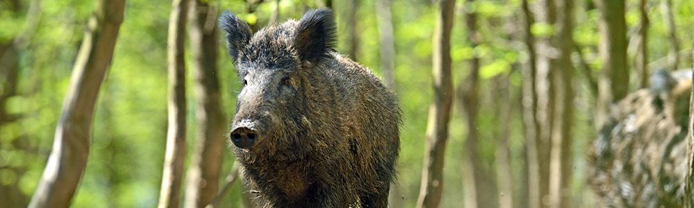 A fierce wild hog.