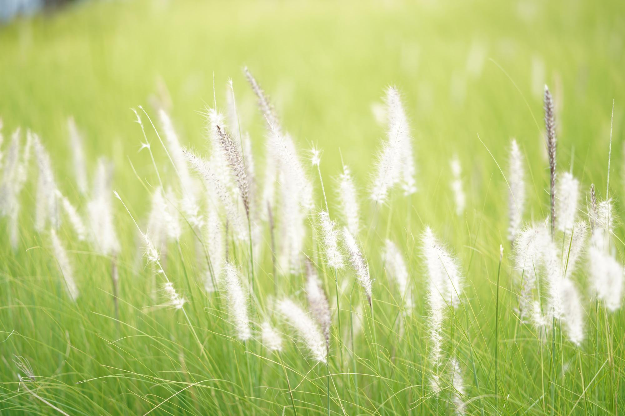 Cogon grass