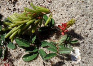 The Creeping Indigo with fuzzy seed pods, green leaves and coral colored flowers.