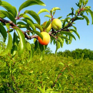RIpening Chickasaw plums