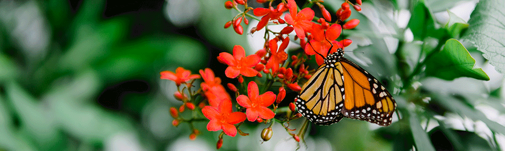 A monarch drinking nectar from flowers.