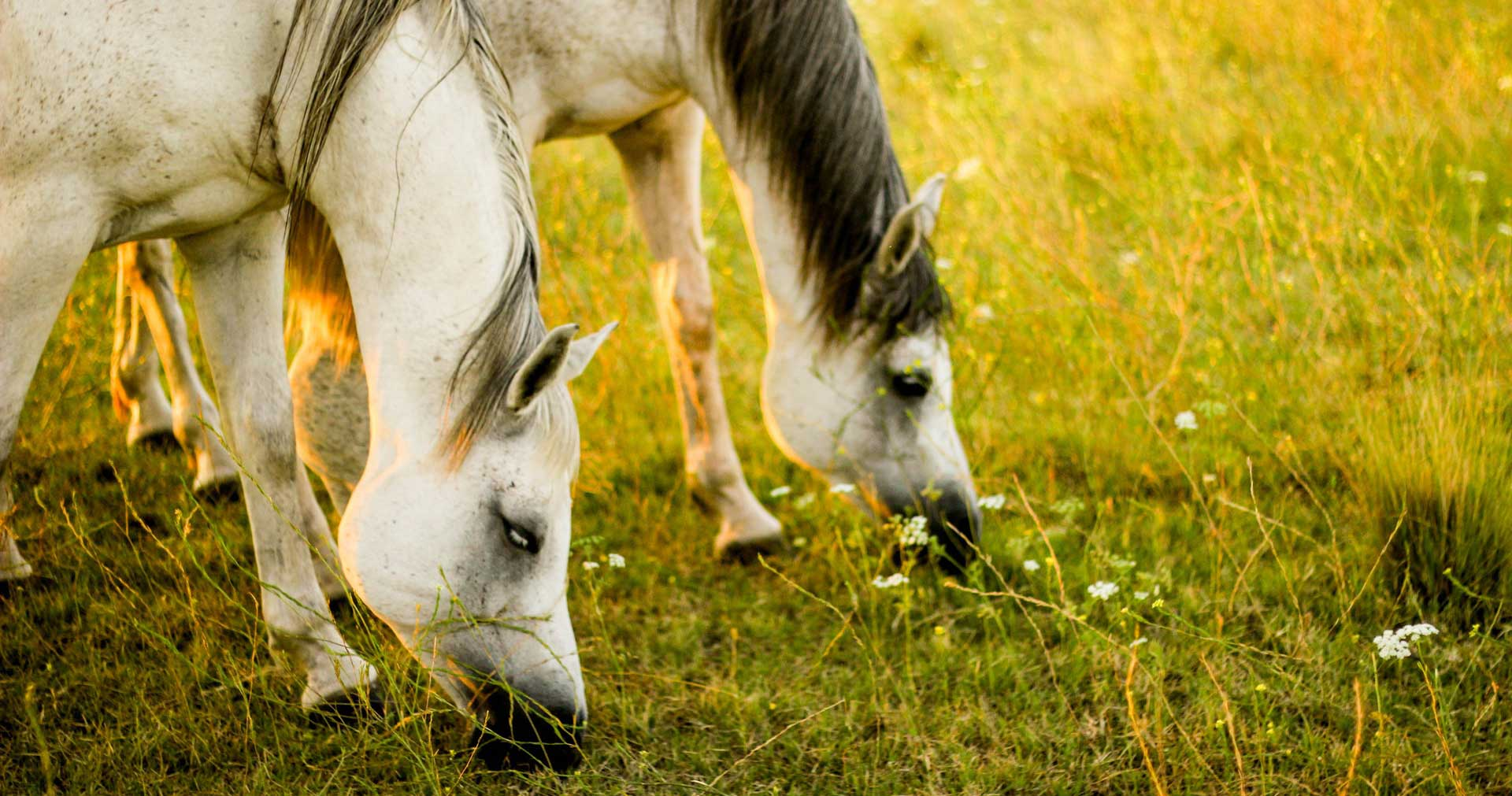 Two beautiful horses grazing