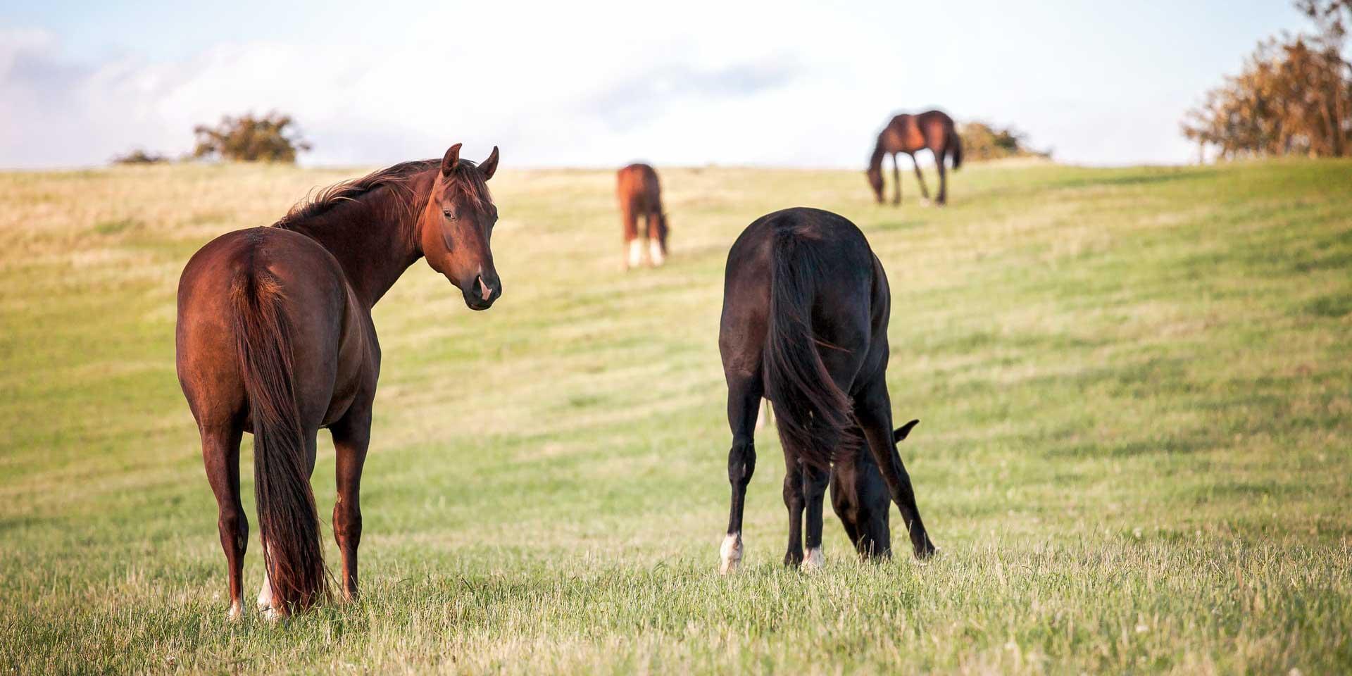 A herd of horses grazing.