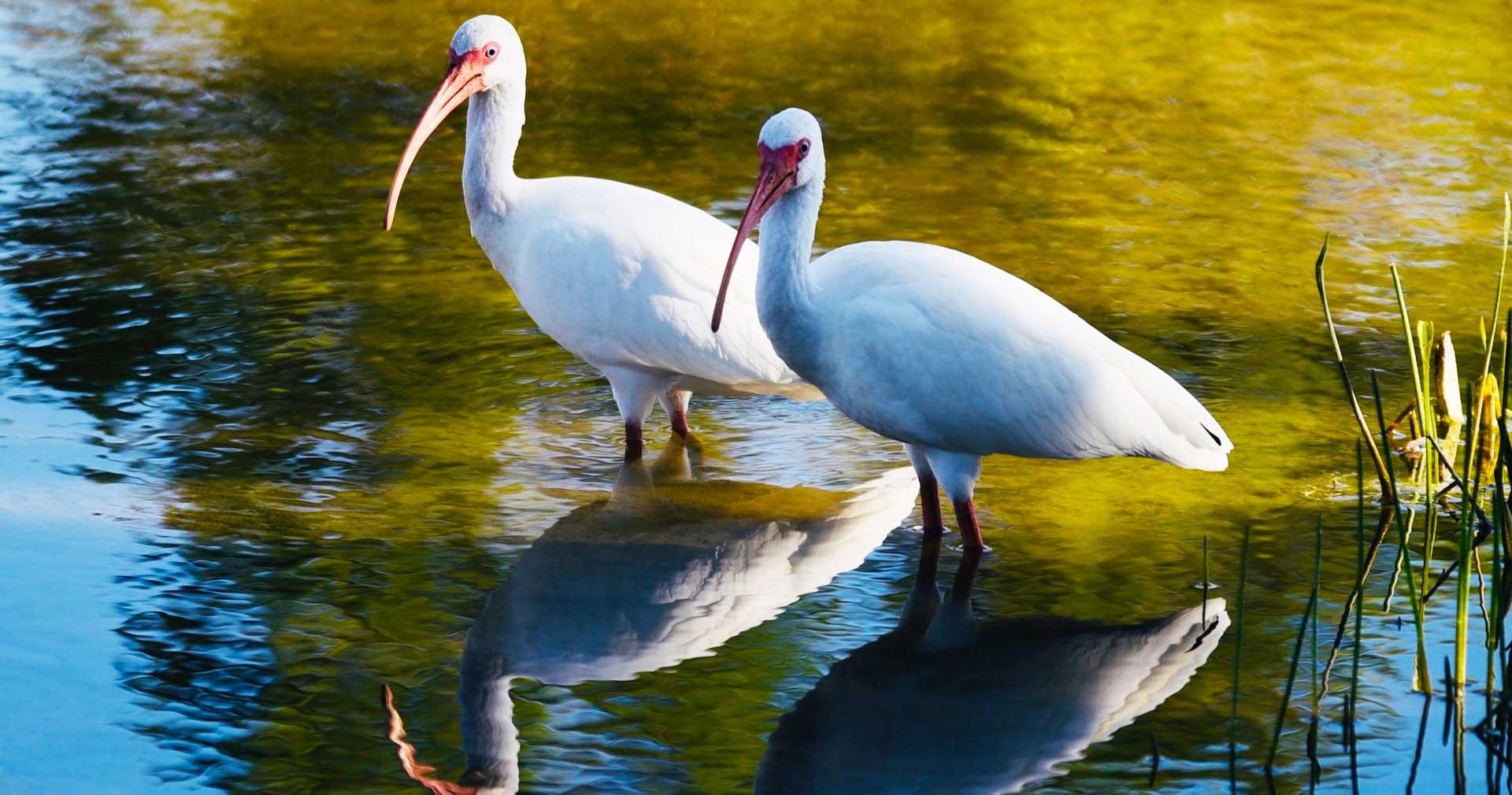 Two white ibises wading in a lake.