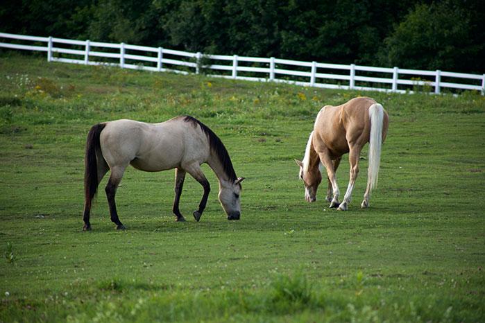 Two horses grazing in a beautiful green paddock.