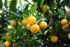 Citrus growing on the tree.