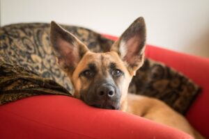 A German shepherd on a couch.