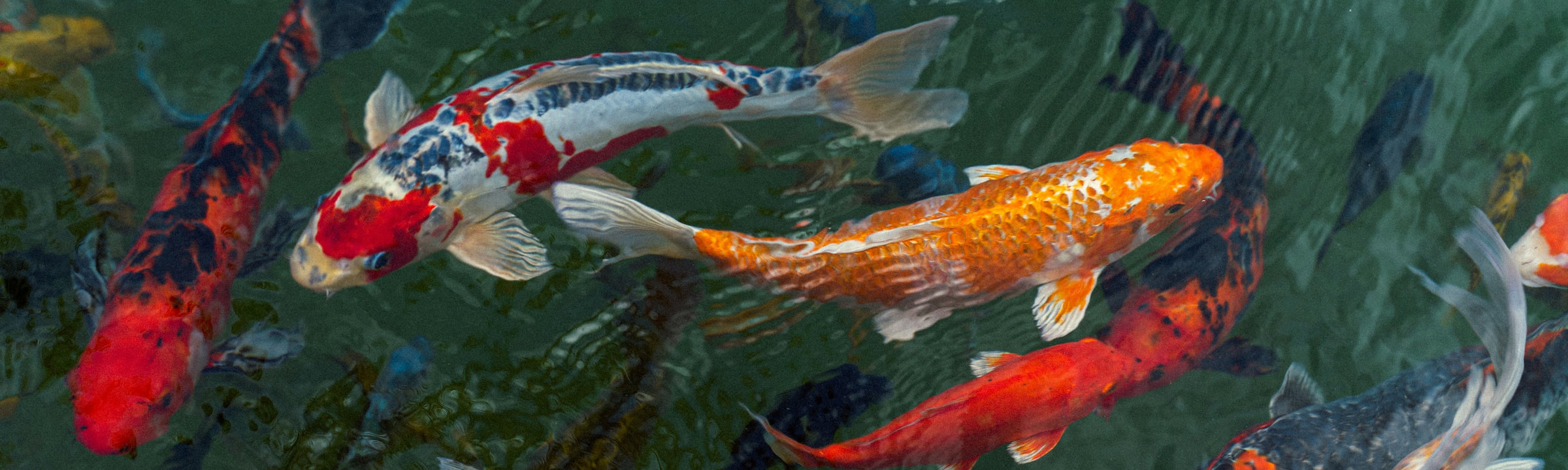 Colorful koi in a pond.