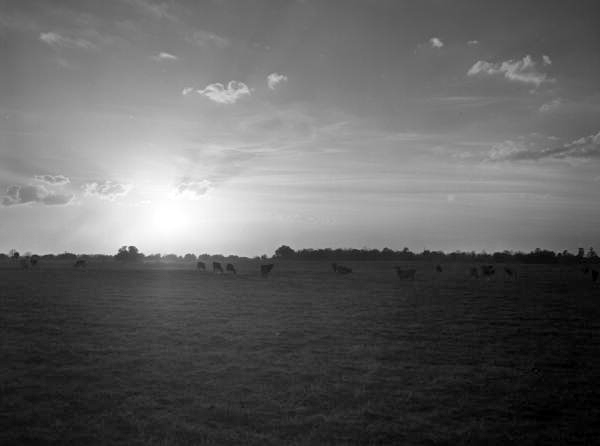 Herd of beef cattle grazing in Marion County at sundown, circa 1940s
