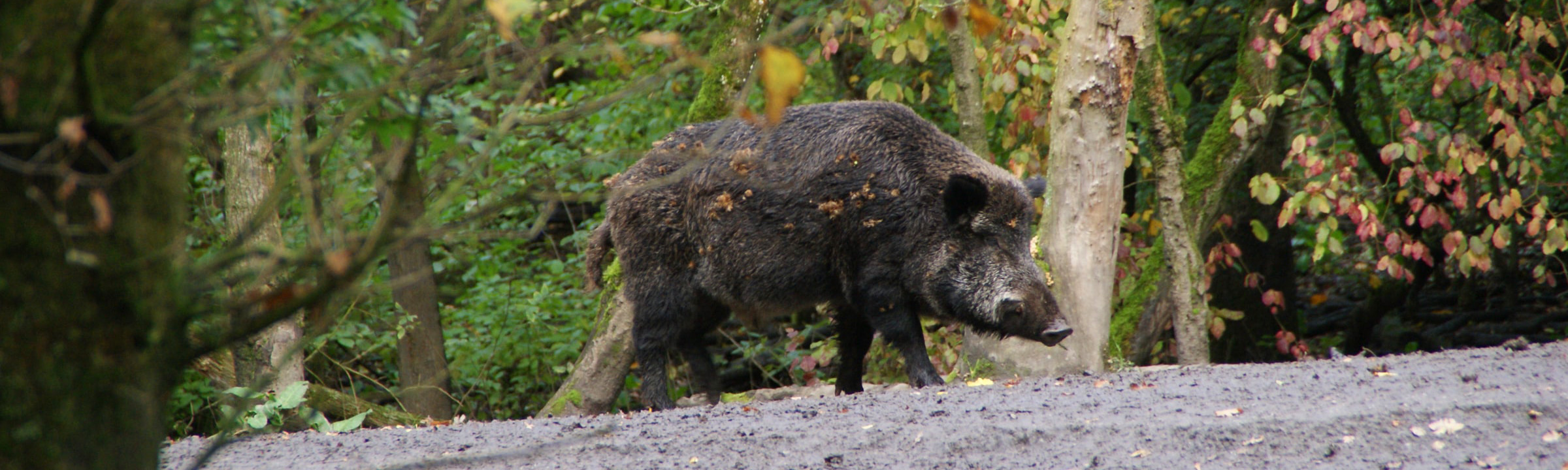 A wild hog walking along a trail.