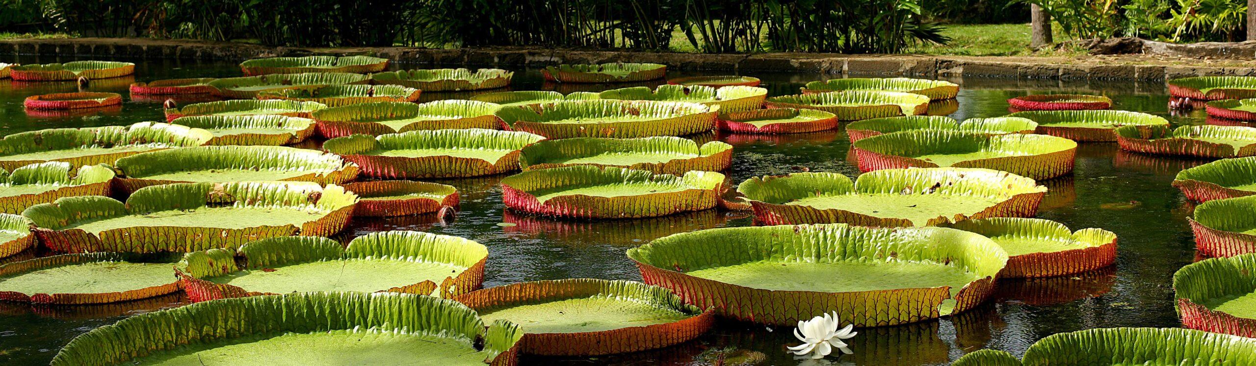 Giant Victoria Water lilies at Kanapaha Botanical Gardens