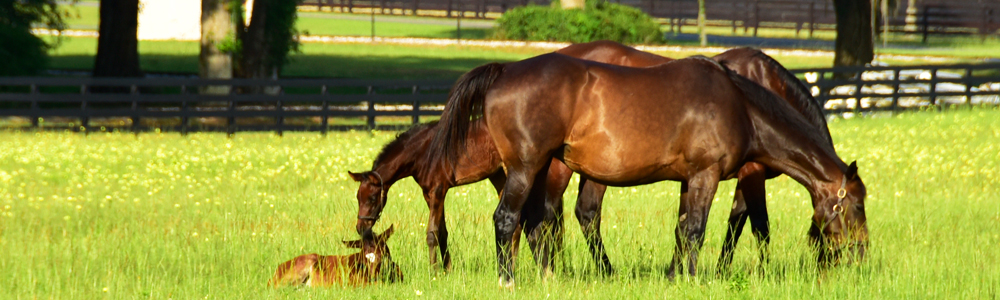 Mares and foals in a meadow at Bridlewood Farm.