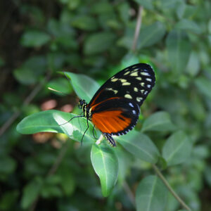 A butterfly at the Butterfly Rainforest Exhibit at the Florida Museum.