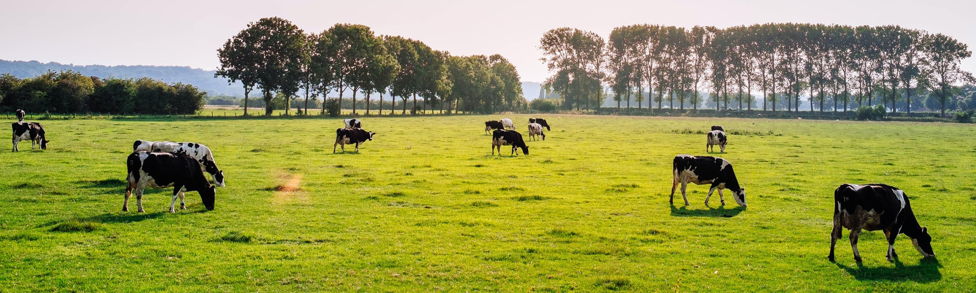 Cows grazing in a green pasture.