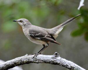 A mockingbird perched on a branch.